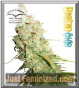 Auto Desfran Dutch Passion - Buy from Trusted Cannabis Retailer